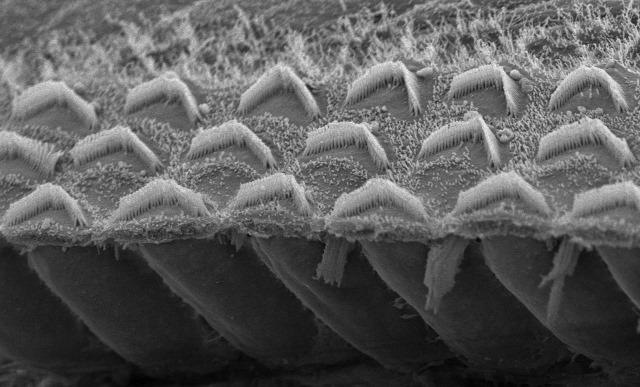 cellules-ciliées-TMC