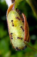 Arhopala japonica parasite fourmis2