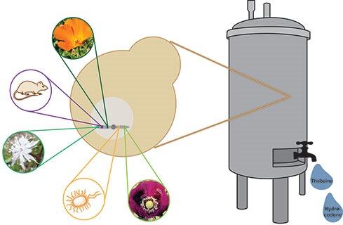 Fermentation-levure-opioide.jpg