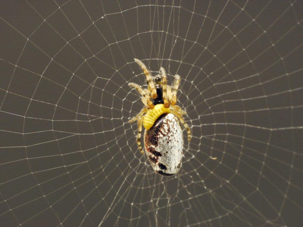 Cette petite larve jaune manipule une araignée pour lui faire construire le plus résistant des cocons… avant de la manger