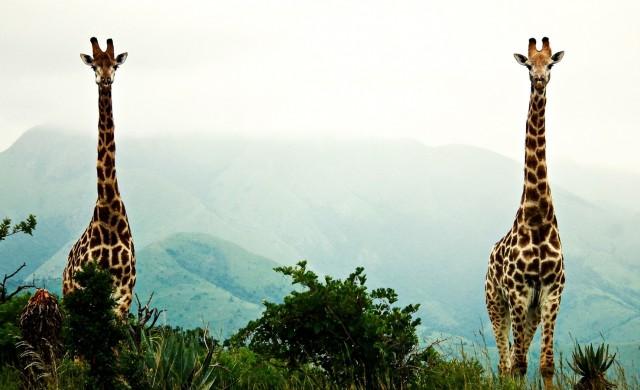 girafes2.jpg