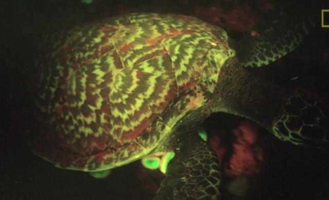 tortue-biofluorescence.jpg