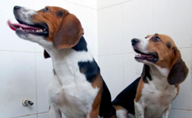 Beagle-Hercule-CRISPR_thumb.jpg