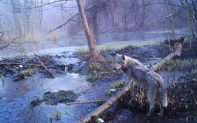Loup-tchernobyl