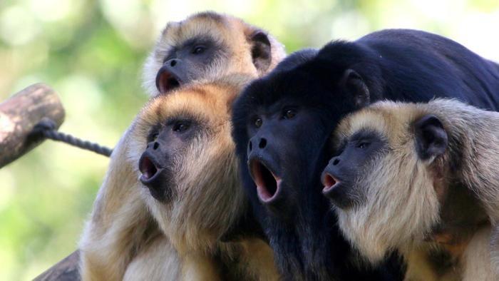 les singes aux plus puissants hurlements ont les plus petits testicules et inversement. Black Bedroom Furniture Sets. Home Design Ideas