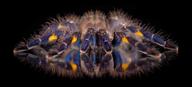 Si ce n'est pas pour séduire, à quoi sert la couleur bleue affichée par plusieurs espèces de mygales ?
