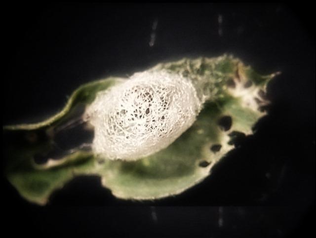 Pas facile de sauter dans la bonne direction quand on est une larve à l'intérieur d'un cocon lui-même à l'intérieur du cocon de sa victime