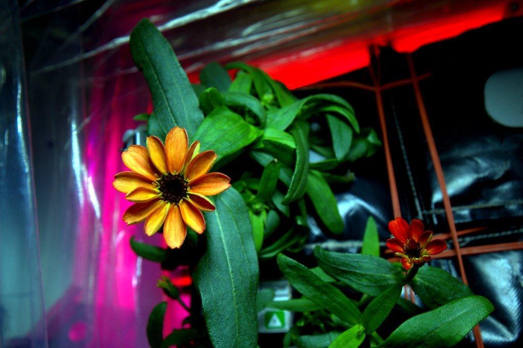 La première plante à fleurir dans l'espace