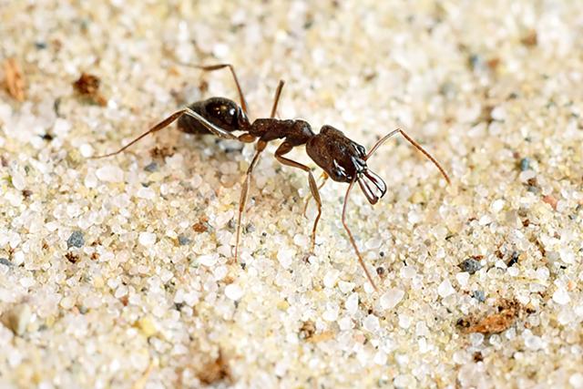 Odontomachus-boxe