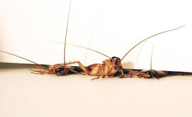 blattes-aplaties.jpg