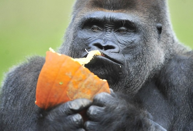 gorilles-Hummm