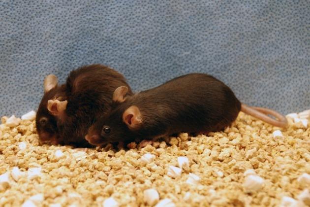 En les débarrassant de leurs cellules HS des souris ont vécue 25 % plus longtemps et en bonne santé