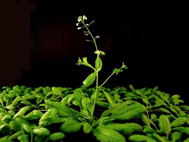 Arabidopsis1.jpg