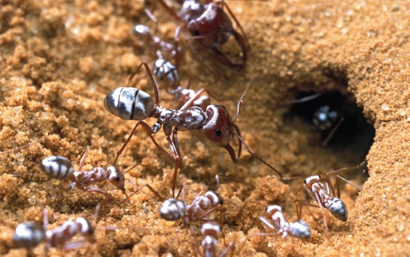 Comment les poils des fourmis argentées sahariennes les préservent de l'extrême chaleur du désert ?