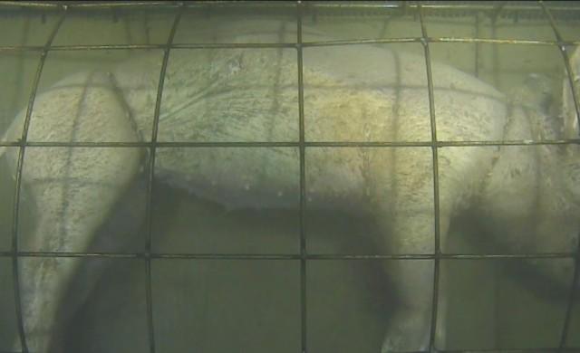 Cochon-dcomp-eau-profonde0.jpg