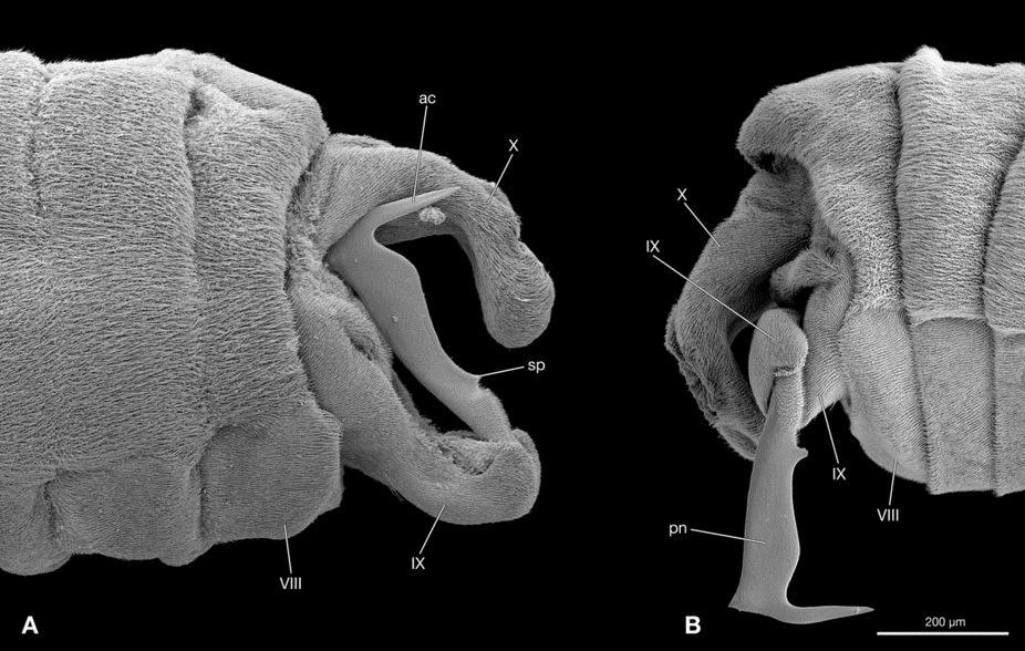 Le pénis d'un parasite qui va être brutalement inséré dans le cou d'une femelle elle-même à l'intérieur d'une abeille