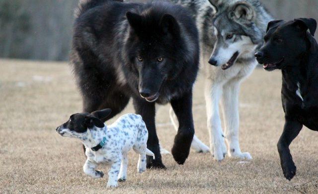 Loup-chien5.jpg