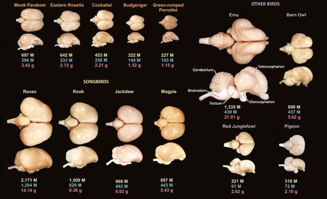 cerveaux-aviaires_thumb.jpg