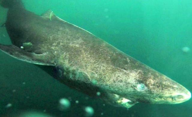 Requin-du-Groenland.jpg