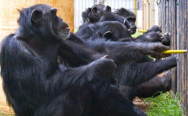 chimpanzees-coopration-16_thumb.jpg