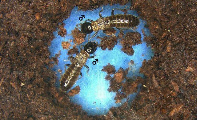 termites-homosexualit.jpg