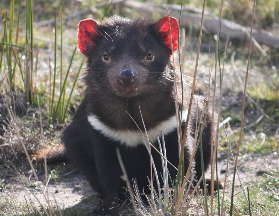 Alors qu'il était sur le point de disparaitre, le diable de Tasmanie développe une résistance à son cancer