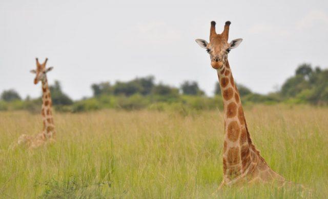 Nubian-giraffe.jpg