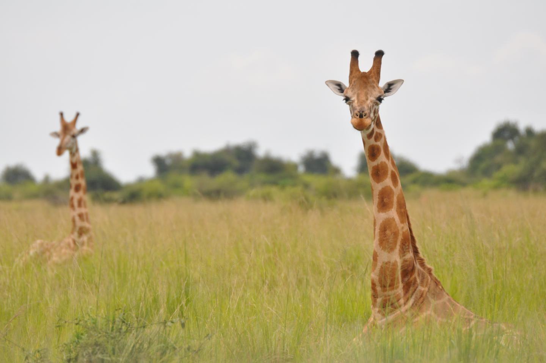 Il existe non pas une, mais quatre espèces de girafe