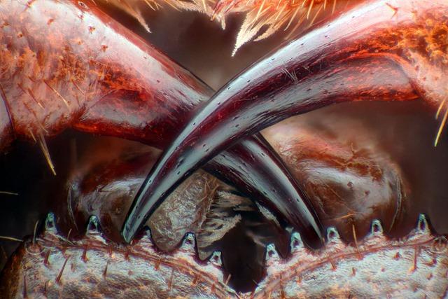 Crocs scolopendre (Lithobius erythrocephalus)