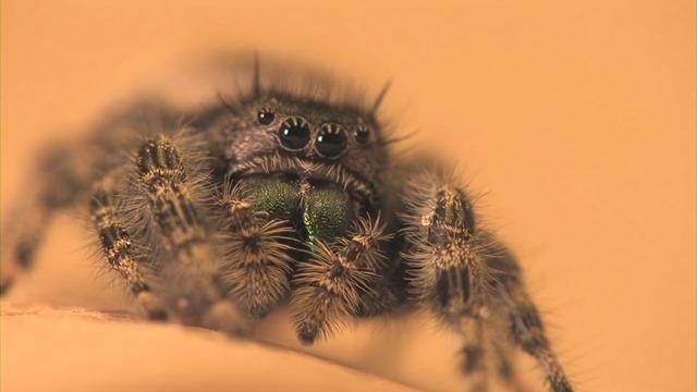 araignée sauteuse-écoute 16