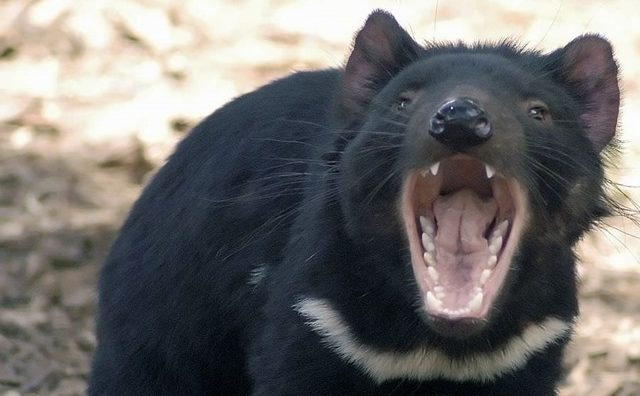 diable-de-tasmanie-lait_thumb.jpg