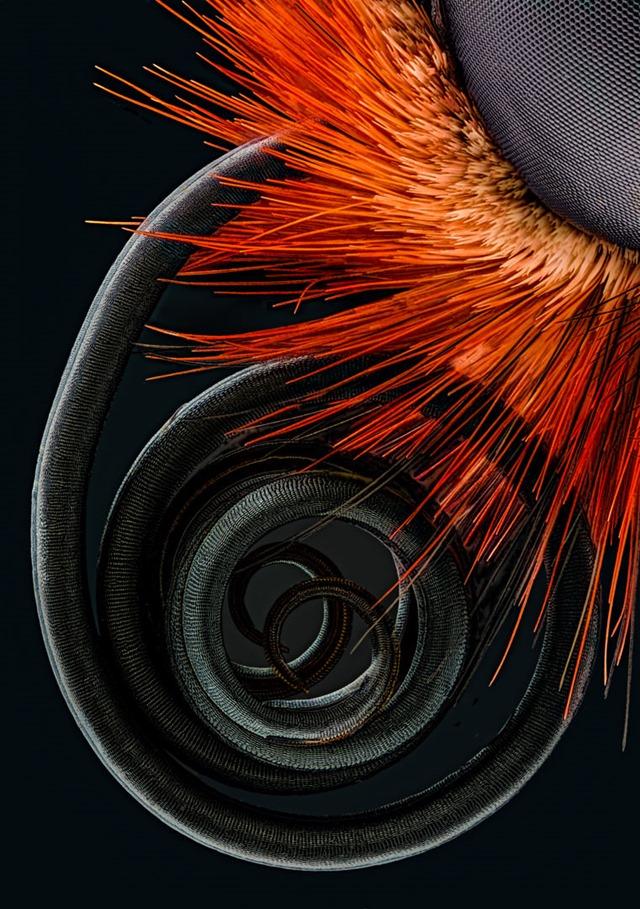 papillon Proboscis