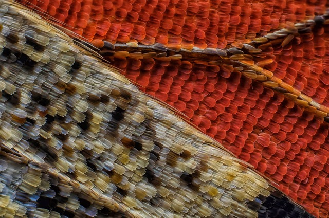 sous une aile de papillon Vanessa atalanta