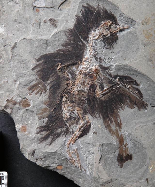 Les plumes de ce fossile de 130 millions d'années ont conservé leurs véritables couleurs ! By Gurumed.org                  Fossile-Eoconfuciusornis_thumb