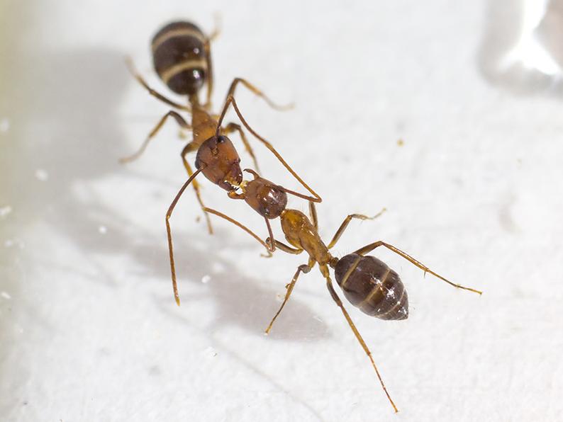 Le visqueux baiser des fourmis est un autre moyen de communication qui engendre une forme de démocratie dans la fourmilière