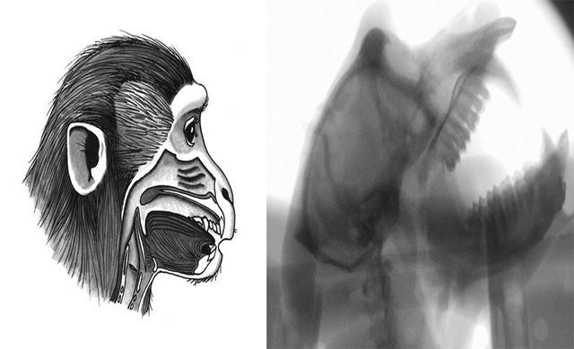 Monkey-head-xray