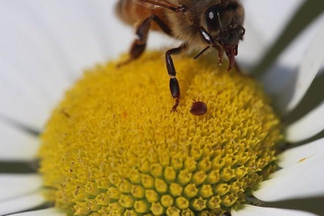 abeille_acarien_fleur