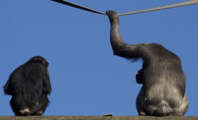 chimpan_derrire.jpg