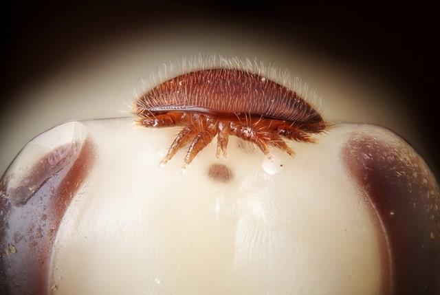 larve-abeille-acarien_thumb.jpg
