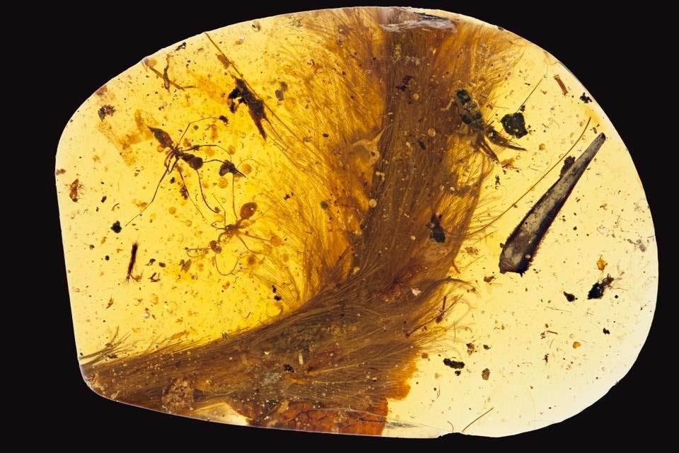 La queue d'un dinosaure, avec ses plumes, dans un morceau d'ambre