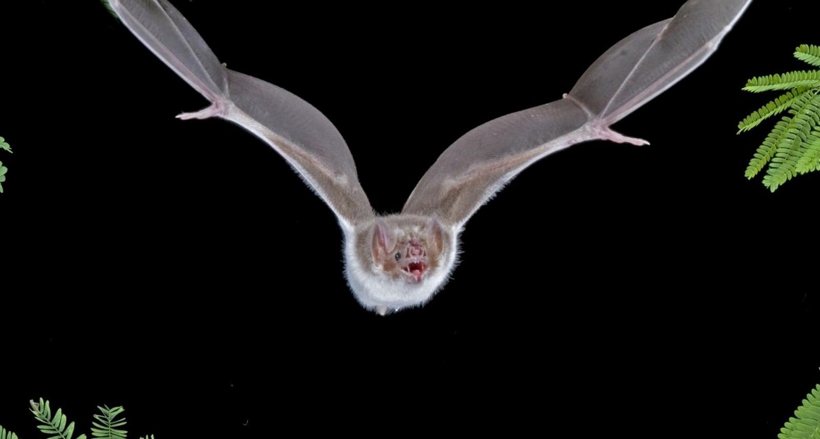Au Brésil, des chauves-souris vampires s'en prennent désormais aux humains… qui l'ont quand même bien cherché