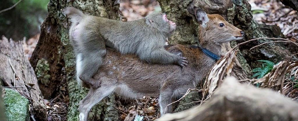 Pourquoi ce macaque tente-t-il de s'accoupler avec un cerf ?