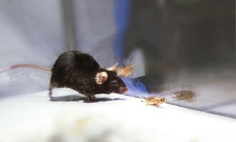 Des chercheurs contrôlent par la lumière l'instinct de chasse et de mise à mort de souris