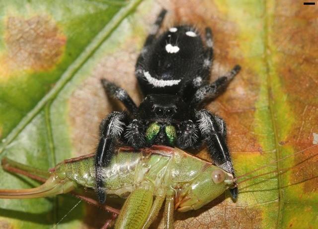 araignée sauteuse-proie 17