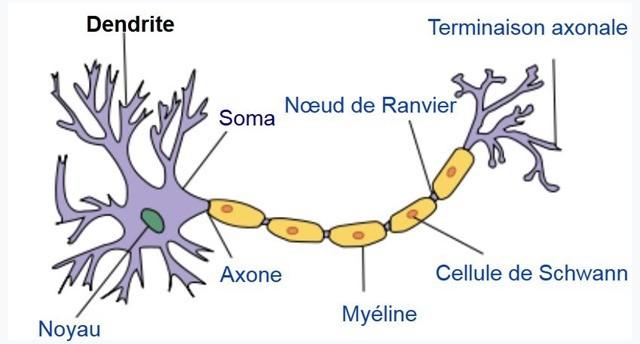 neurone-dendrites-soma