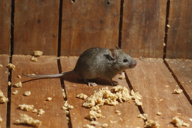 les souris domestiques cohabitent avec l humain depuis 15 000 ans gurumeditation. Black Bedroom Furniture Sets. Home Design Ideas