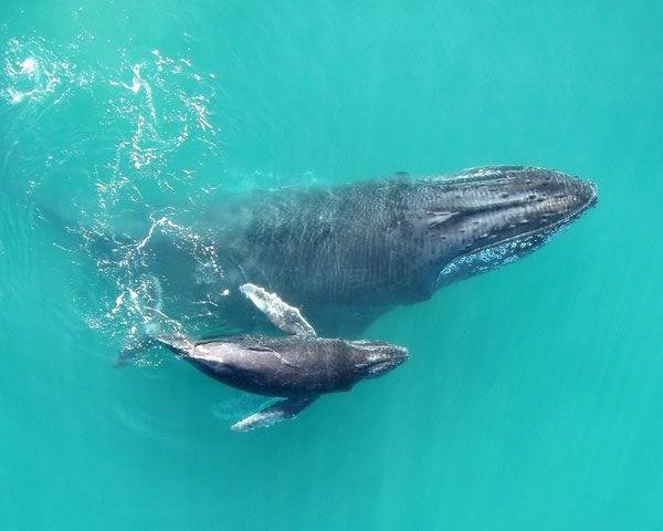 Les baleineaux s'adressent à leur mère en chuchotant pour éviter d'être repérés
