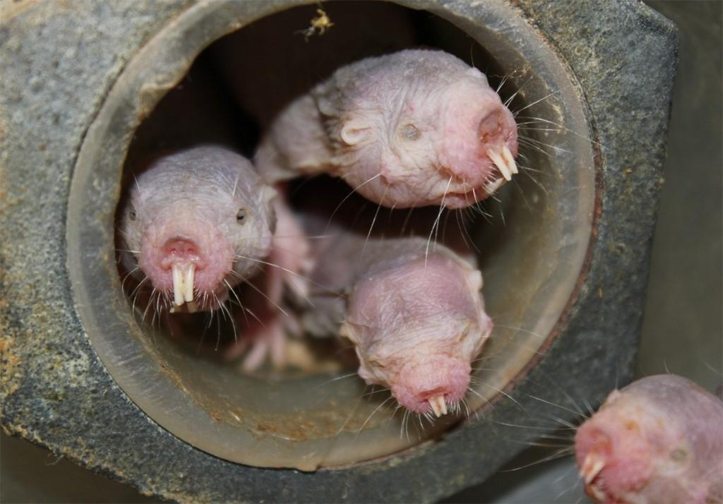 Le rat-taupe nu peut survivre à 18 minutes sans oxygène grâce à un métabolisme similaire aux plantes
