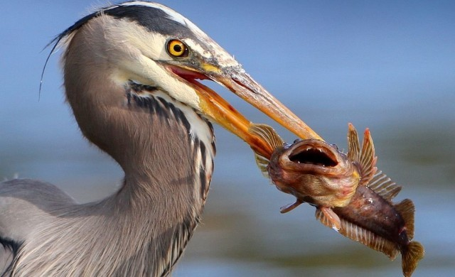Bird_eating_fish.jpg
