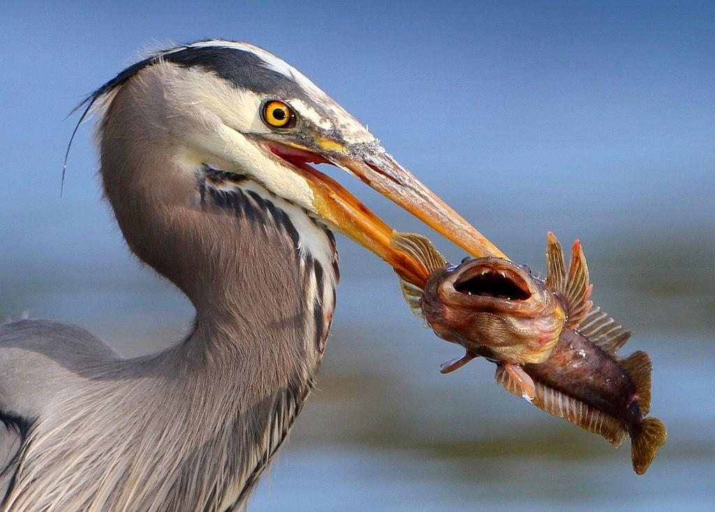 Un parasite vivant dans l'œil d'un poisson le manipule pour pouvoir se retrouver dans le ventre d'un oiseau